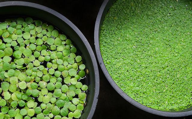 ウキクサ アオウキクサ コウキクサ 浮草 ビオトープ 水生植物 Spirodela Lemna Duckweed メダカ