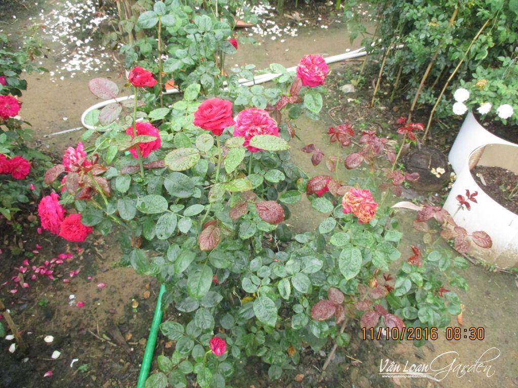 Bụi hồng Rouge Royale Rose tại vườn