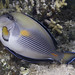 Small photo of Sohal Surgeonfish - Acanthurus sohal