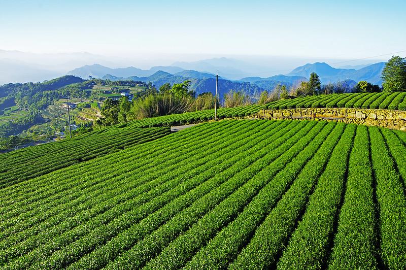 大清早的阿里山茶園