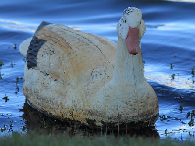 Snow Goose Decoy 20141028