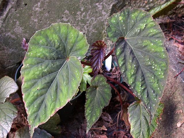 "Begonia ""taiwaniana"""