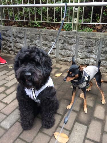 黒犬とラブラドゥードル
