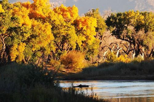 newmexico rio grande fallcolor autumnleaves bosque corralesnm
