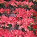 """Christmas Poinsettias"" by ellenc995"