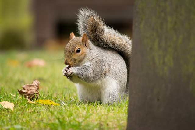 20141016-45_Foraging _ Grey Squirrel_Holy Trinity Church Coventry