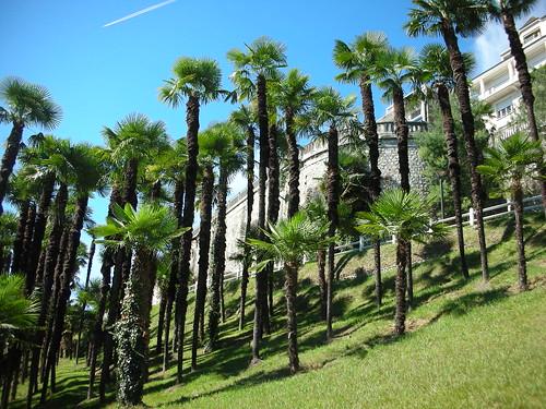 Trachycarpus fortunei 16075364356_45ed8fa91c