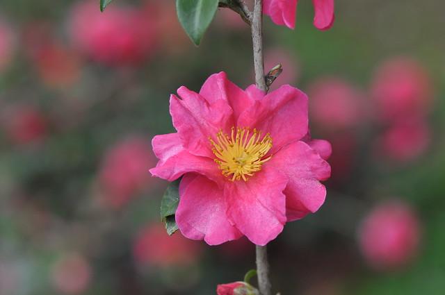 義民廟茶花 (19)