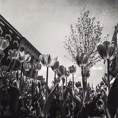 I really miss #summer! #blackandwhite #blackandwhitephotography #tulips #flowers @eduardontavares