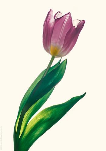 Tulip // 10 01 15