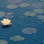 Pond at NYBG