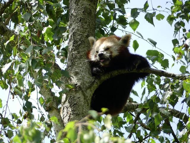 Roter Panda, Opel-Zoo