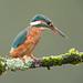 Wet Kingfisher