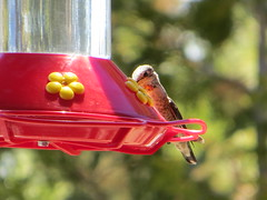 hummingbird(0.0), cardinal(0.0), animal(1.0), yellow(1.0), red(1.0), finch(1.0), bird feeder(1.0), bird(1.0),