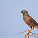 Common Myna by Anuj Nair
