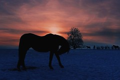 #sunset #horses #trees #snow