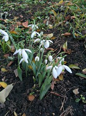 Snowdrops out in late October