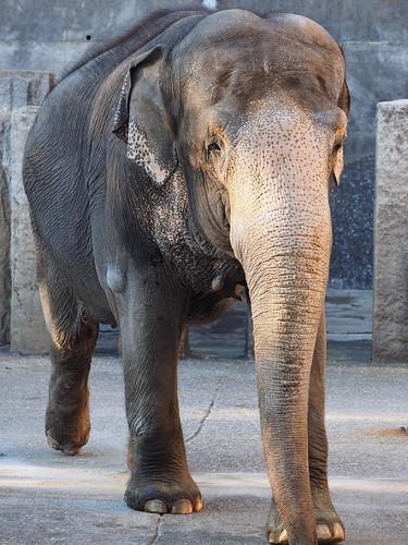 金沢動物園 インドゾウ
