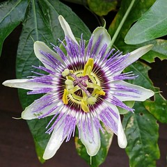 giant granadilla(0.0), flower(1.0), purple passionflower(1.0), plant(1.0), macro photography(1.0), flora(1.0), passion fruit(1.0),