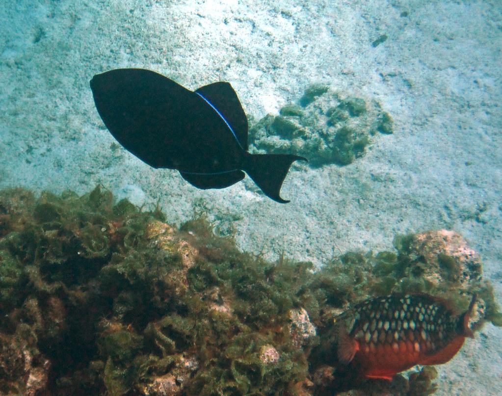 Image result for Melichthys Niger