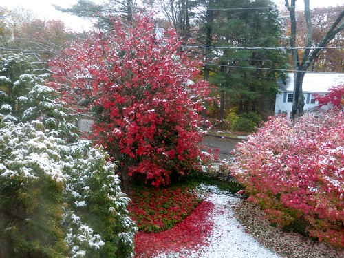 Japanese maple with smudge of snow