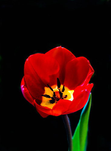 red plants black flower green bulb wow spectacular spring tulips superb awesome fineart scenic surreal peaceful stamens idaho sensational pedals bouquet bulbous inspirational spiritual sublime magical tranquil emmett magnificent inspiring filaments flicker perennial tulipa haybales stupendous greetingcards whiteflowers liliaceae freshcut flowerphotography picturesqueness canonshooter idahophotography photouploads americanphotograph robertbales northamericanphotography tulipdisambiguation