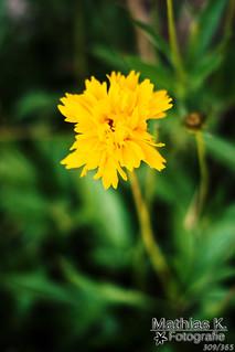 Gelbe Sonne | Projekt 365 | Tag 309