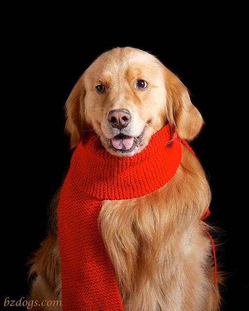 Dog in Scarf