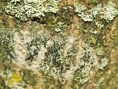 Lecidella elaiochroma (punktförmig) auf Ginkgo