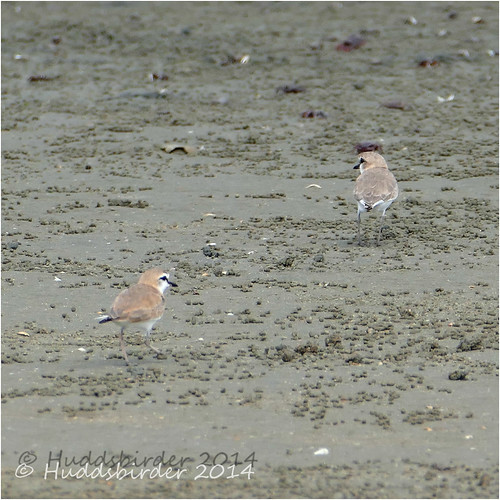 White Fronted Plovers