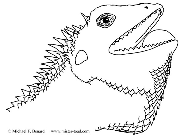 lizard portrait coloring page