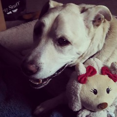 Zeus and his pretty reindeer lady... #dogstagram #instadog #happydog #christmas #reindeer #dogtoy #ilovemydogs #seniordog #ilovemyseniordog #smiling