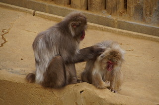 039 Japanse makaken