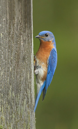 blue bird bluebird eastern easternbluebird