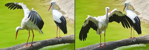 1-20160731 rituals for bird experts, storks - 2-3 Le Cornelle