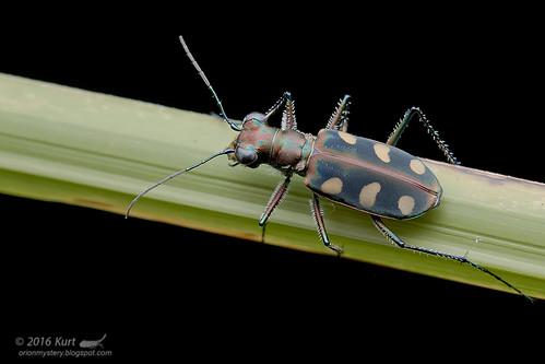 Tiger Beetle_MG_0829 copy