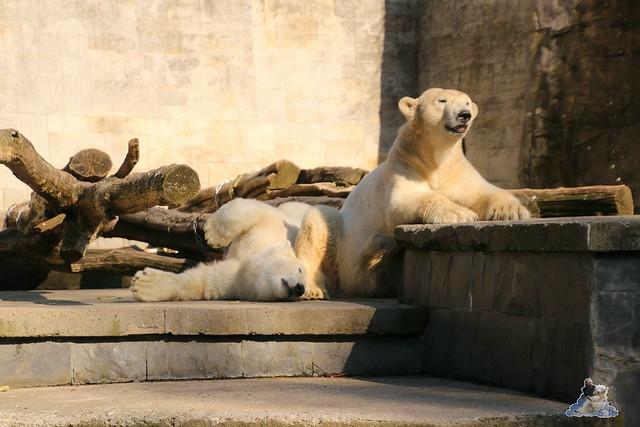 Eisbär Fiete im Zoo Rostock 07.05.2016  0360