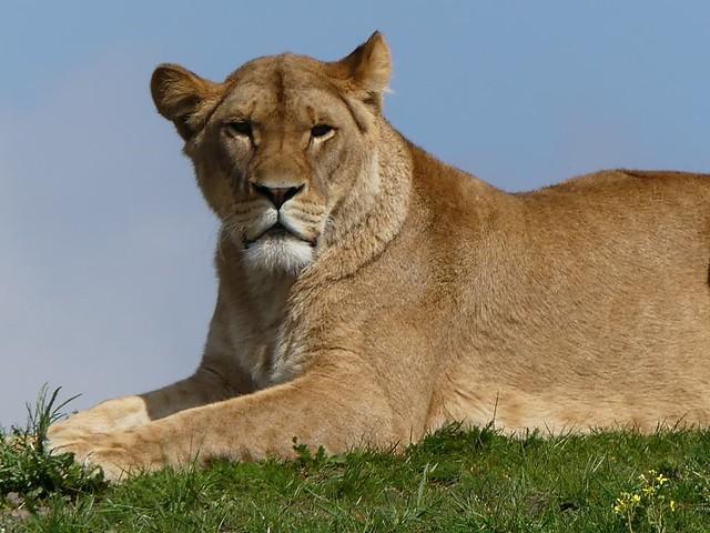 Löwen, Wildlands Adventure Emmen