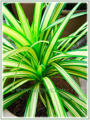 Captivating variegated leaves of Pandanus veitchii 'Variegata' (Variegated Dwarf Pandanus, Variegated Screw Pine, Variegated Veitch's Screw Pine), May 3 2016