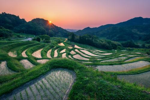 travel food japan asian nikon asia rice natural paddy grow chiba leslie taylor crops organic oriental ricefield ricepaddy paddies terraced d610 1635mm æ¥æ¬ åè æè¡ lestaylorphoto ç±³ æ¥ã®åº