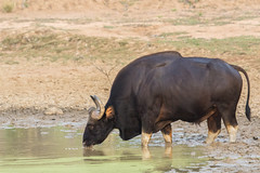 Indian Gaur (Bison) - Tadoba Andhari Tiger Reserve