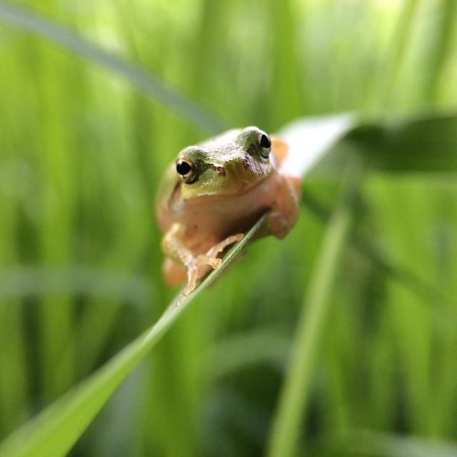 雨蛙 #JapaneseTreeFrog. #🐸 #TreeFrog #frog #7x #macro #olloclip @ #弥厚公園