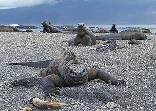 Marine Iguana Floreana Island - (Amblyrhynchus cristatus albemarlensis)