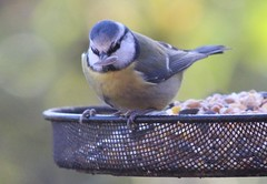 Blue Tit's breakfast