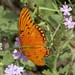 Gulf Fritillary Butterfly (Agraulis vanillae); Tucson, Arizona, Tohono Chul Park, [Lou Feltz]