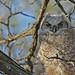 Great Horned Owlet...#5