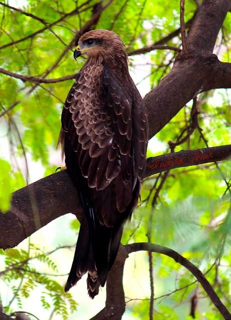 I Nair - Black Kite- Juvenile