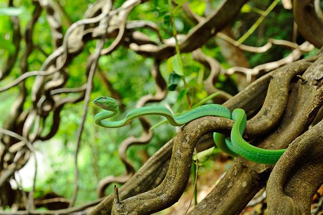 Oriental Vine Snake, Ahaetulla prasina in Kaeng Krachan National Park