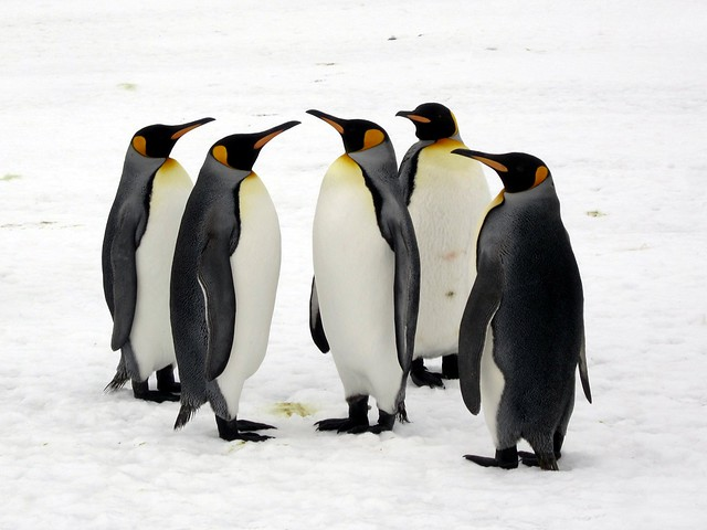 King Penguins from Flickr via Wylio