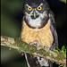 Spectacled Owl (Pulsatrix perspicillata) by Glenn Bartley - www.glennbartley.com